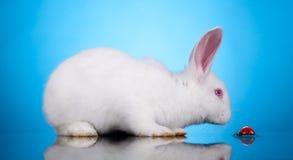 Rabbit lookt at ladybird Royalty Free Stock Photos
