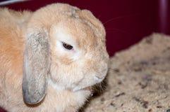 Rabbit lop-eared sheep Stock Photos