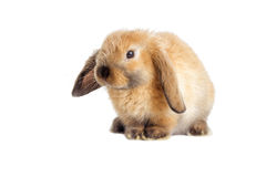 Rabbit lop-eared Stock Photo