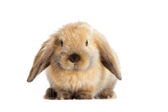 Rabbit lop-eared Stock Photos