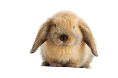 Rabbit lop-eared Royalty Free Stock Images