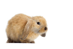 Rabbit lop-eared Royalty Free Stock Photos