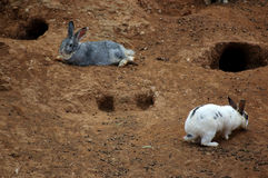 Rabbit love. Pair of rabbits in the farm Stock Photography