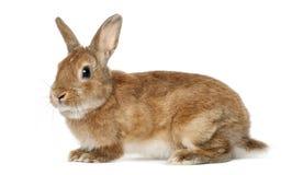 Rabbit lying Royalty Free Stock Image