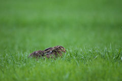 Rabbit lying down on a grass Royalty Free Stock Image
