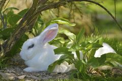 Rabbit lying on the ground royalty free stock images