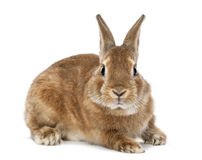 Rabbit lying and looking at camera Stock Images