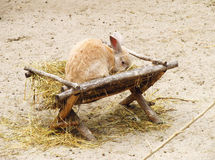 Rabbit in the manger Stock Image