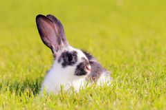 Rabbit in a meadow Royalty Free Stock Image