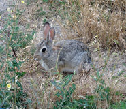 A rabbit in a meadow Royalty Free Stock Images