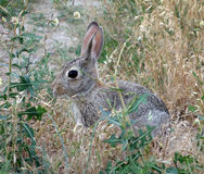 A rabbit in a meadow Stock Image