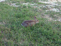 A rabbit in a meadow Royalty Free Stock Image