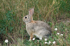 A rabbit in a meadow Stock Images