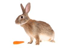 Rabbit with meal Stock Image