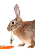 Rabbit with meal , isolated. Royalty Free Stock Image