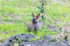 Rabbit in the mediterranean nature maquis shrubland Stock Photos