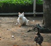 Rabbit meet duck friendship Stock Images