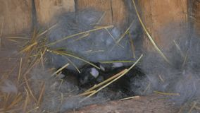 Born rabbits. Young rabbits in the nest. stock video footage
