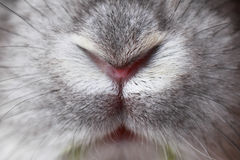Rabbit mouth and nose Royalty Free Stock Image