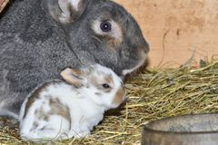 Rabbit mutter and little cutie watching around his hay nest close up portrait. Detail animal mutter love Royalty Free Stock Image