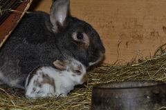 Rabbit mutter and little cutie watching around his hay nest close up portrait. Detail animal mutter love Stock Photo