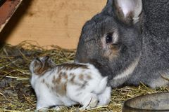 Rabbit mutter and little cutie watching around his hay nest close up portrait. Detail animal mutter love Stock Images