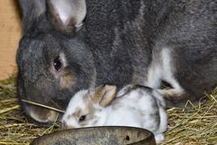 Rabbit mutter and little cutie watching around his hay nest close up portrait. Detail animal mutter love Stock Image
