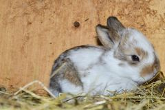 Close up portrait of little rabbit cutie watching from his hay nest. Rabbit mutter and little cutie watching around his hay nest close up portrait detail animal Stock Photo