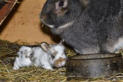 Rabbit mutter and little cutie watching around his hay nest close up portrait. Detail animal mutter love Stock Photos