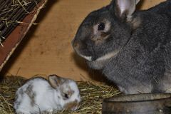 Rabbit mutter and little cutie watching around his hay nest close up portrait. Detail animal mutter love Royalty Free Stock Images