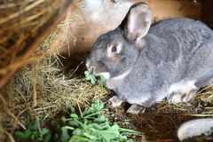Rabbit mutter and little cutie watching around his hay nest close up portrait. Detail animal mutter love Stock Photography