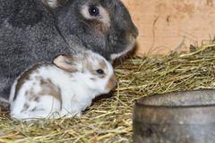 Rabbit mutter and little cutie watching around his hay nest close up portrait. Detail animal mutter love Royalty Free Stock Photos