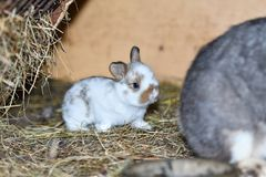 Rabbit mutter and little cutie watching around his hay nest close up portrait. Family rabbit mutter and little cutie watching around his hay nest close up Royalty Free Stock Photography