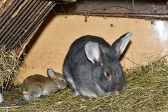 Rabbit mutter and little cutie watching around his hay nest close up portrait. Family rabbit mutter and little cutie watching around his hay nest close up Royalty Free Stock Images
