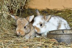 Rabbit mutter and little cutie watching around his hay nest close up portrait. Family rabbit mutter and little cutie watching around his hay nest close up Royalty Free Stock Photo