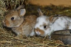 Rabbit mutter and little cutie watching around his hay nest close up portrait. Family rabbit mutter and little cutie watching around his hay nest close up Stock Photos