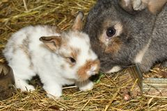 Rabbit mutter and little cutie watching around his hay nest close up portrait. Family rabbit mutter and little cutie watching around his hay nest close up Royalty Free Stock Image