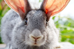 Rabbit muzzle Royalty Free Stock Images