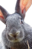 Rabbit muzzle. Image of cautious grey bunny muzzle looking at camera Stock Photography