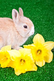 Rabbit and narcissus Royalty Free Stock Photos