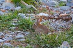 A rabbit near Lake Tekapo, New Zealand stock image