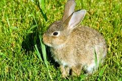Rabbit nibble the green grass. Fluffy rabbit nibble the green grass Stock Photos