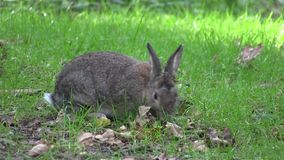 Rabbit nibbling grass. stock footage