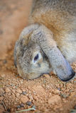 Rabbit. A rabbit in the nick Royalty Free Stock Photography