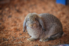 Rabbit. A rabbit in the nick Stock Photography