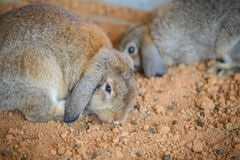 Rabbit. A rabbit in the nick Royalty Free Stock Photos
