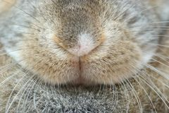 Rabbit nose. Closeup picture of a bunny nose. Oryctolagus cuniculus Royalty Free Stock Photography