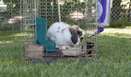Rabbit and open cage Royalty Free Stock Photography