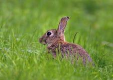 Rabbit - Oryctolagus cuniculus Stock Photography