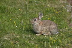 Rabbit, Oryctolagus cuniculus, Royalty Free Stock Images